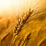 Манна или небесное зерно